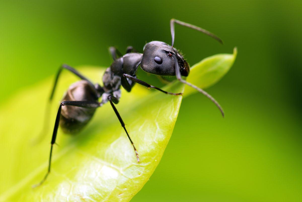 Gros plan sur la fourmi