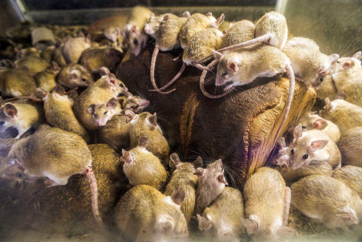 Une invasion de souris