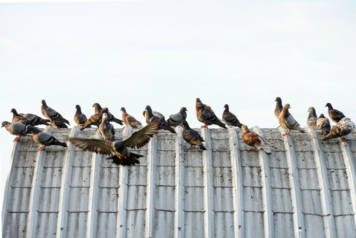 Invasion de pigeons sur le toit